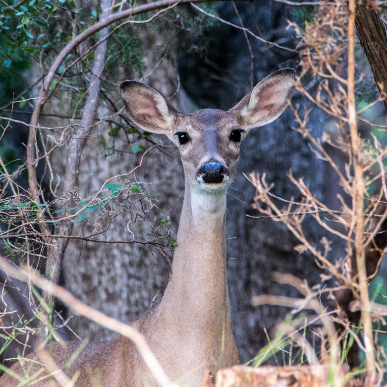 White Tailed Deer in New Braunfels (2)