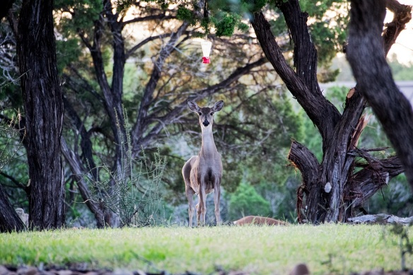 White Tailed Deer in New Braunfels (3)