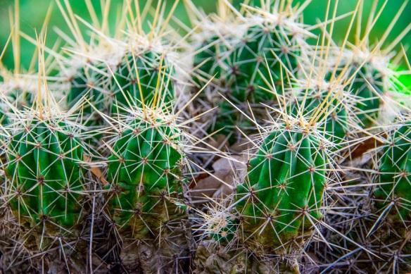 Wildflower Center Cactus