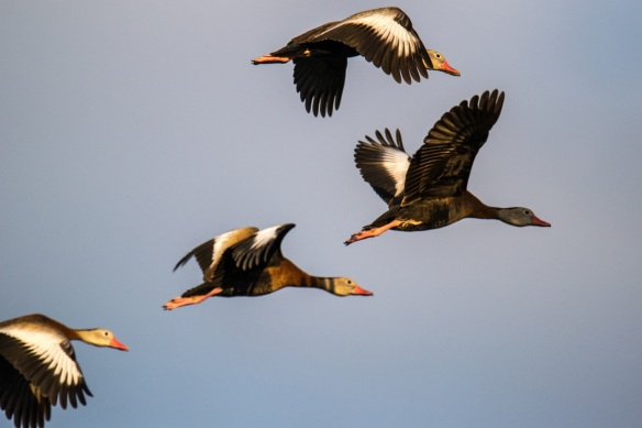 Four Tree Ducks in flight