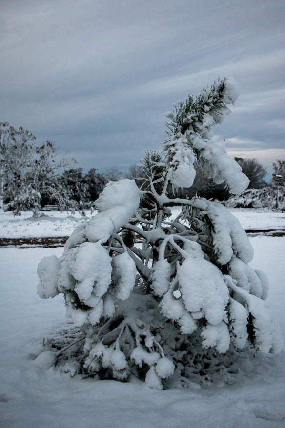 Italian Stone Pine in snow