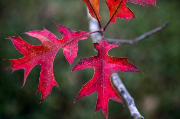 Pin Oak Leaves (1)