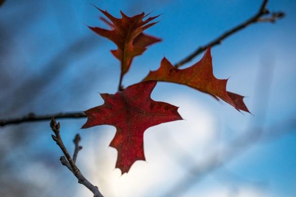 Pin Oak Leaves (2)