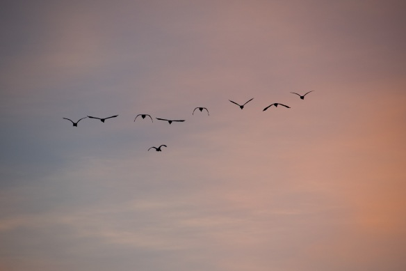 Ducks at Dawn (3)