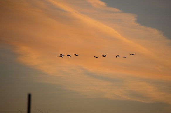 Ducks at Dawn (4)