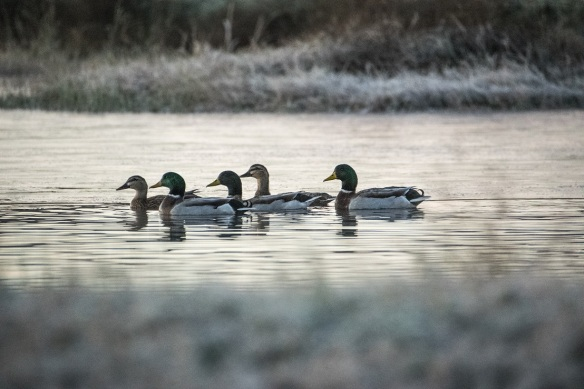 Ducks at Dawn (5)