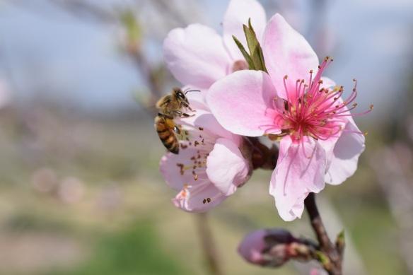00s Peach Blossoms (1)