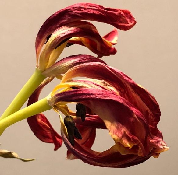 00s Tulip Fading (2)