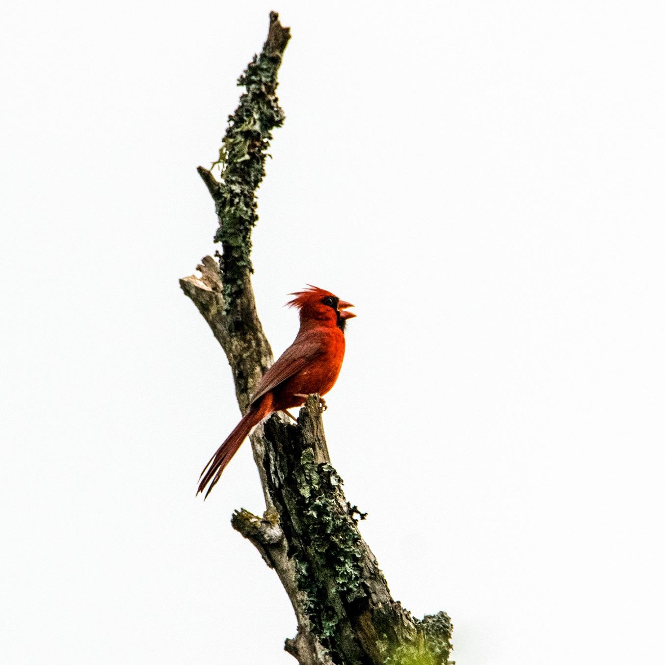 Cardinal 1 (13)