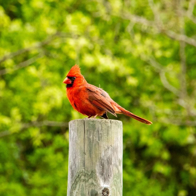 Cardinal 2 (5)