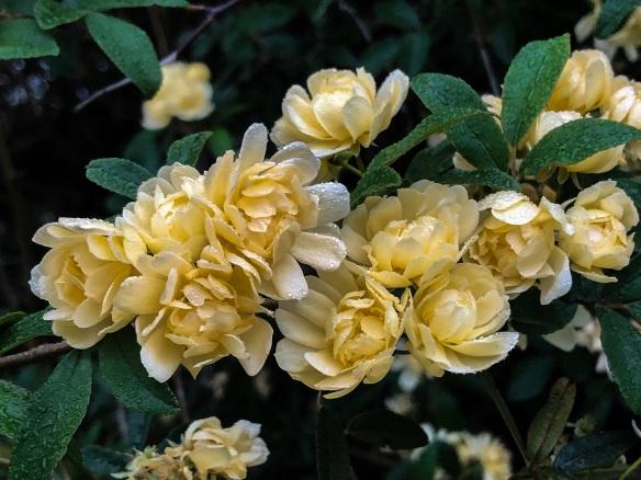 Lady Banks Yellow (2)