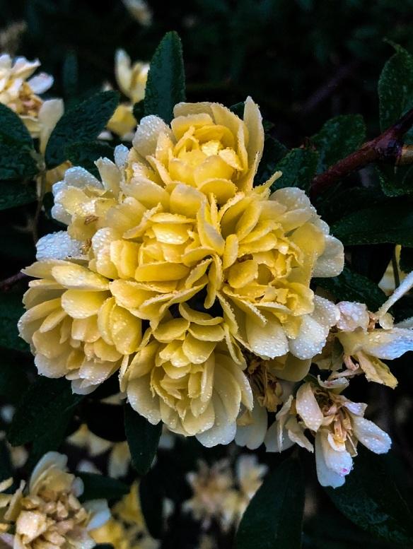Lady Banks Yellow (3)