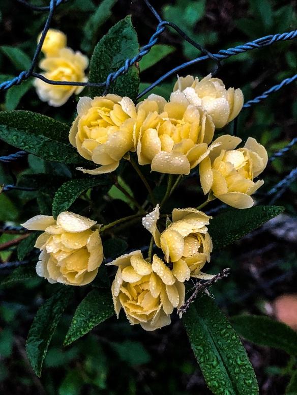 Lady Banks Yellow (4)