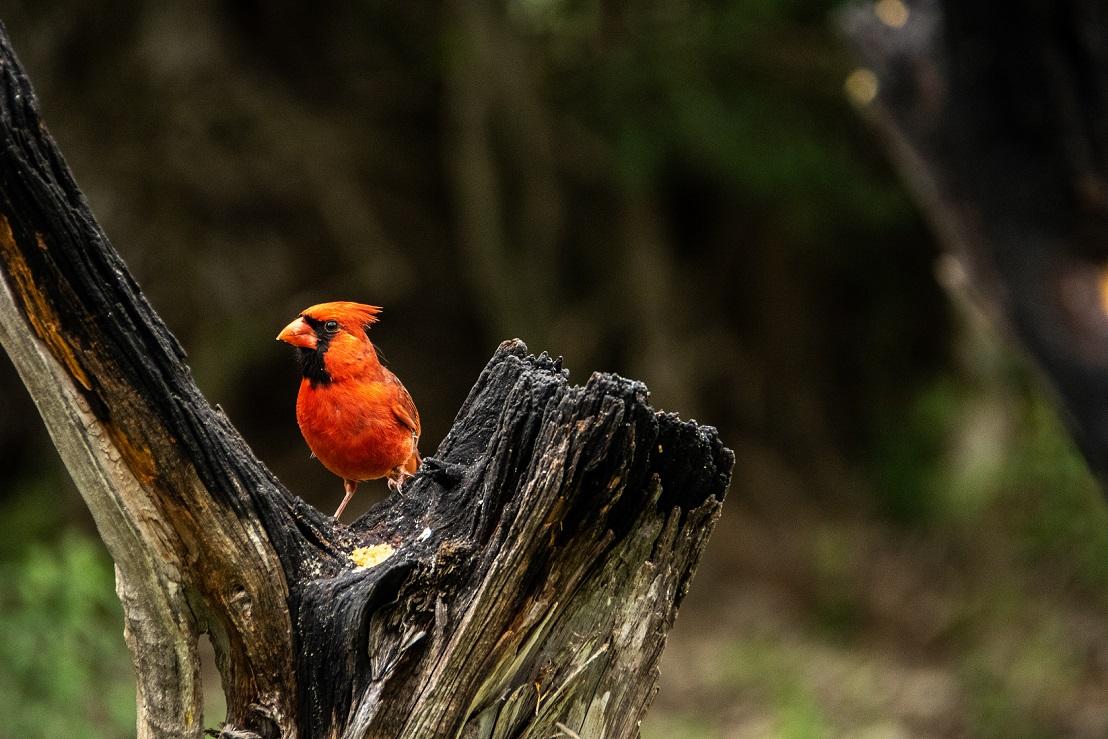 Cardinals (2)