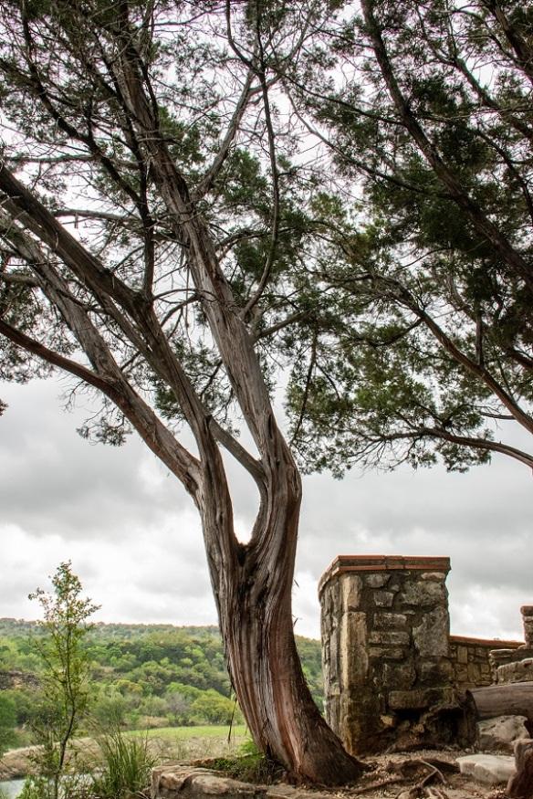 Cedar Tree (3)
