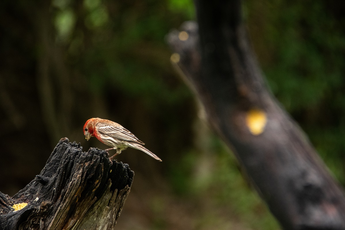 House Finches (1)