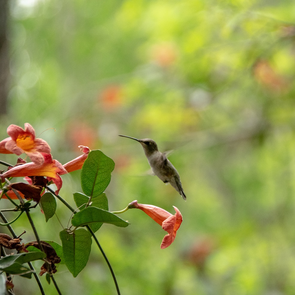 Hummingbirds (5)