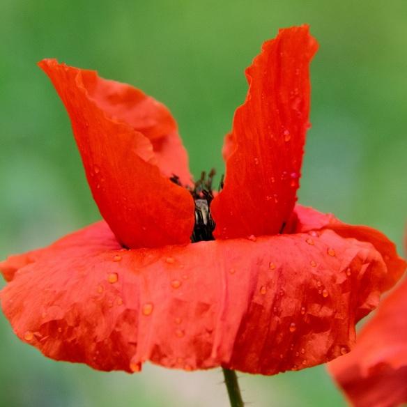 Poppies (3)