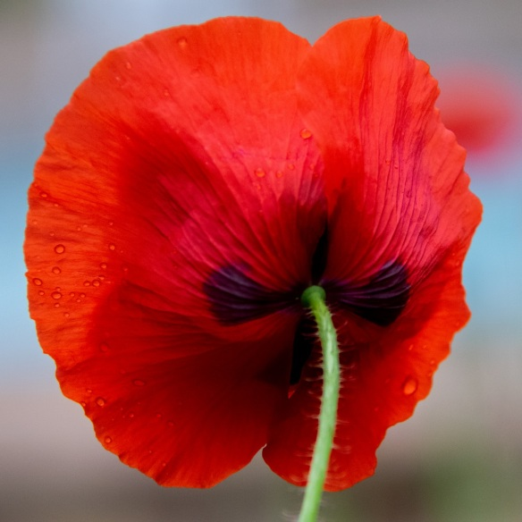 Poppies (4)