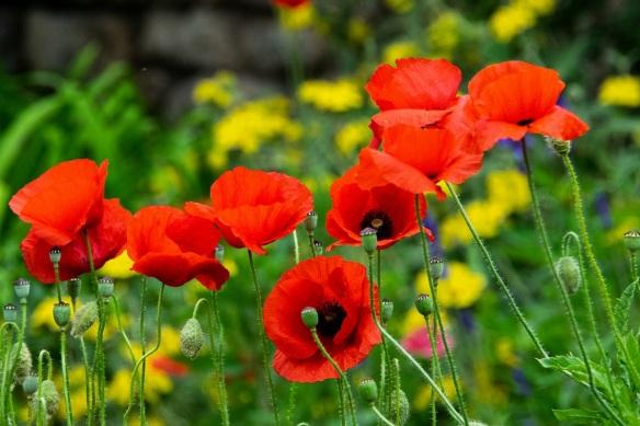 Poppies (5)