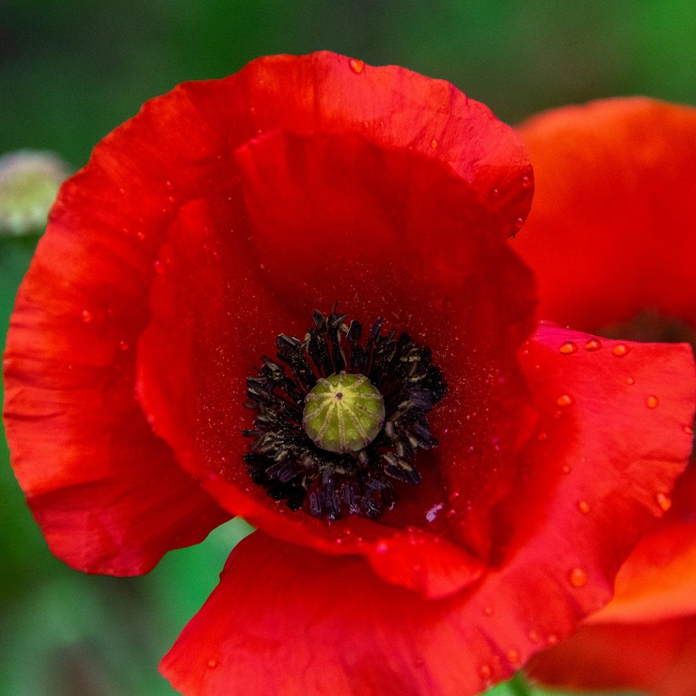 Poppies (6)