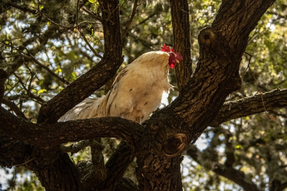 Rooster in a tree (2)