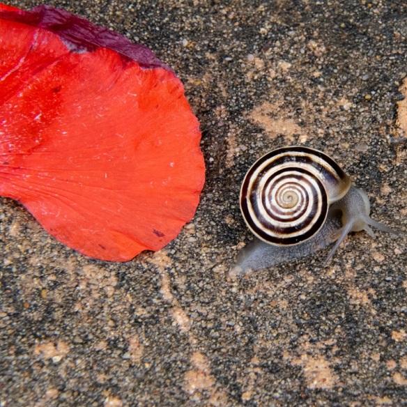 Snail and poppy petal