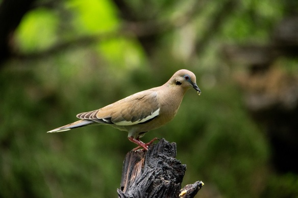 White wing dove (2)