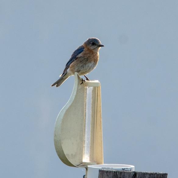 Bluebird (12a)