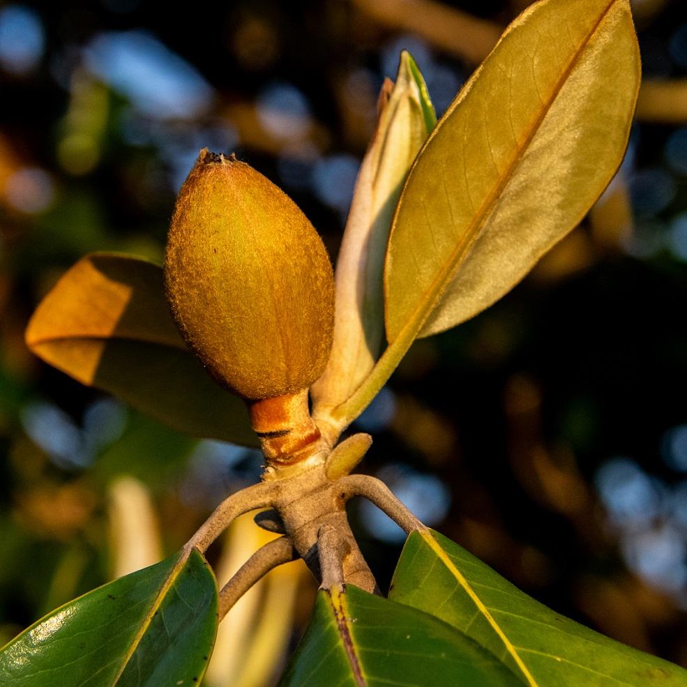 Magnolia blossoms (5)