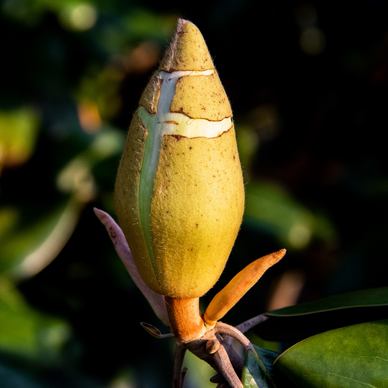 Magnolia blossoms (8)
