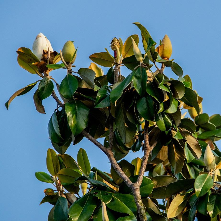 Magnolia blossoms (9)