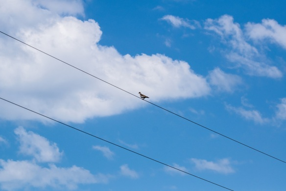 White Wing Dove on Wire