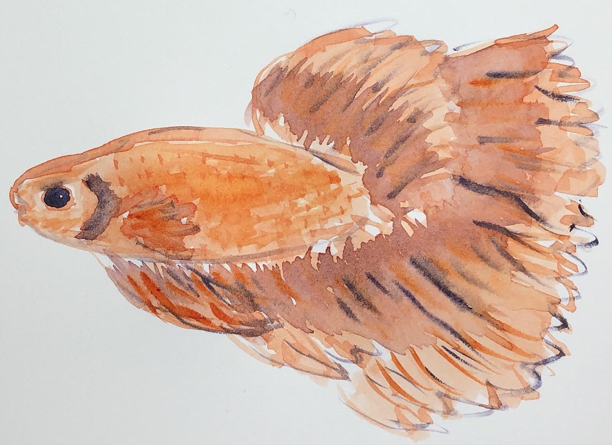 00s 22 Siamese Fighting Fish