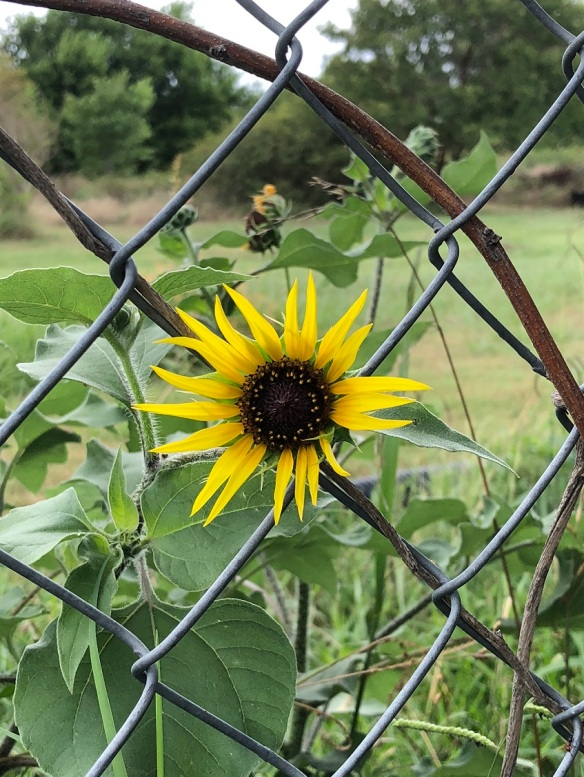 Sunflower on a fence