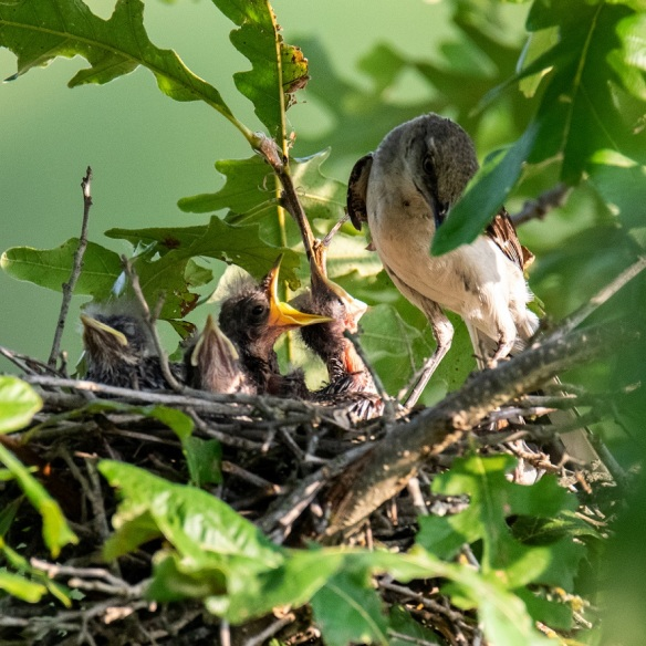 Mockingbird nest (1)