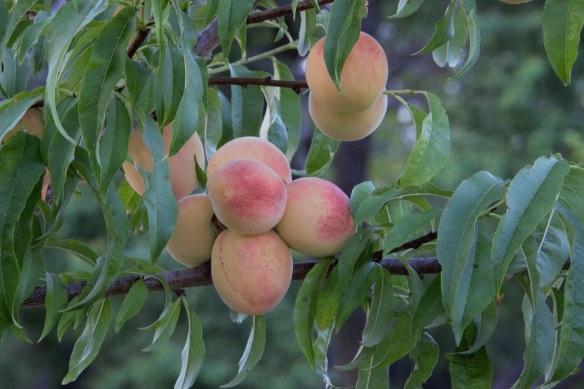 00s Peaches