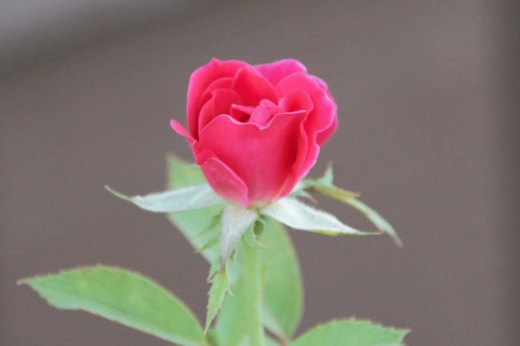 00s Rosebud