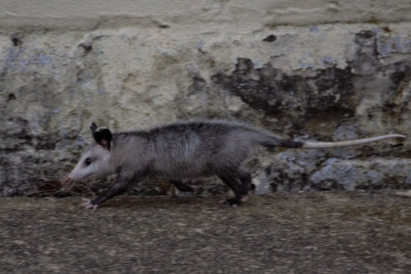 00s Possum in Kerrville (9)