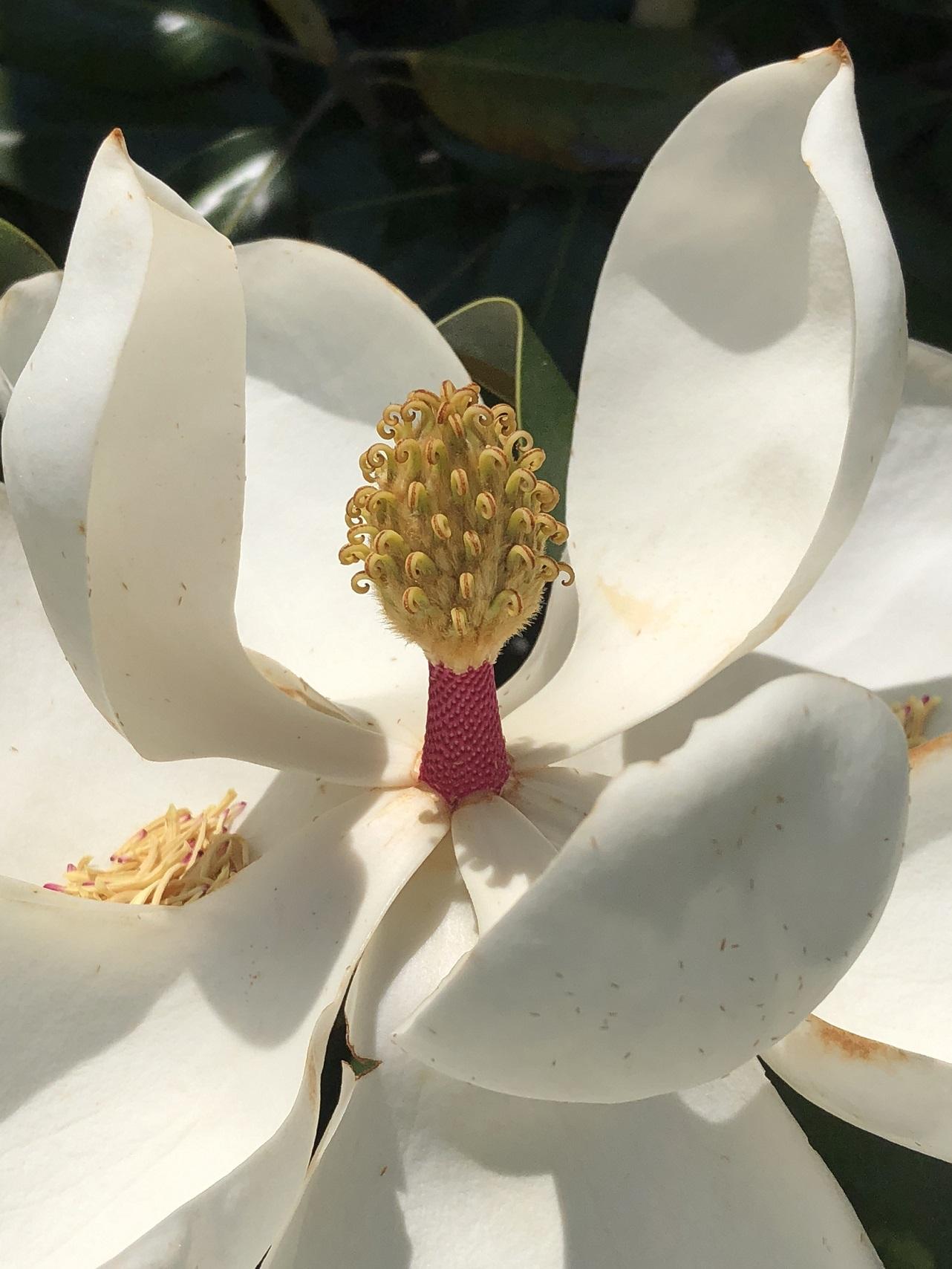 00s Magnolia Blossom