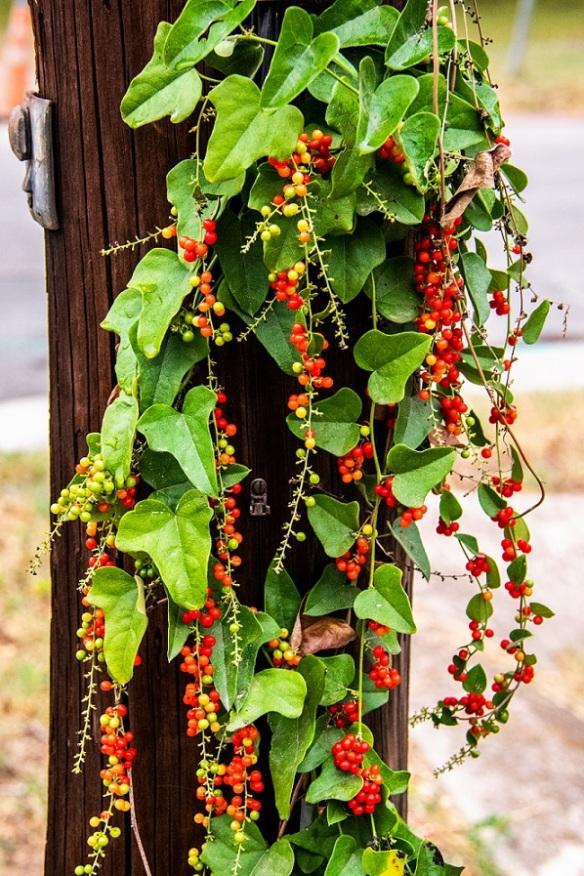 Plant on Utility Pole (1)