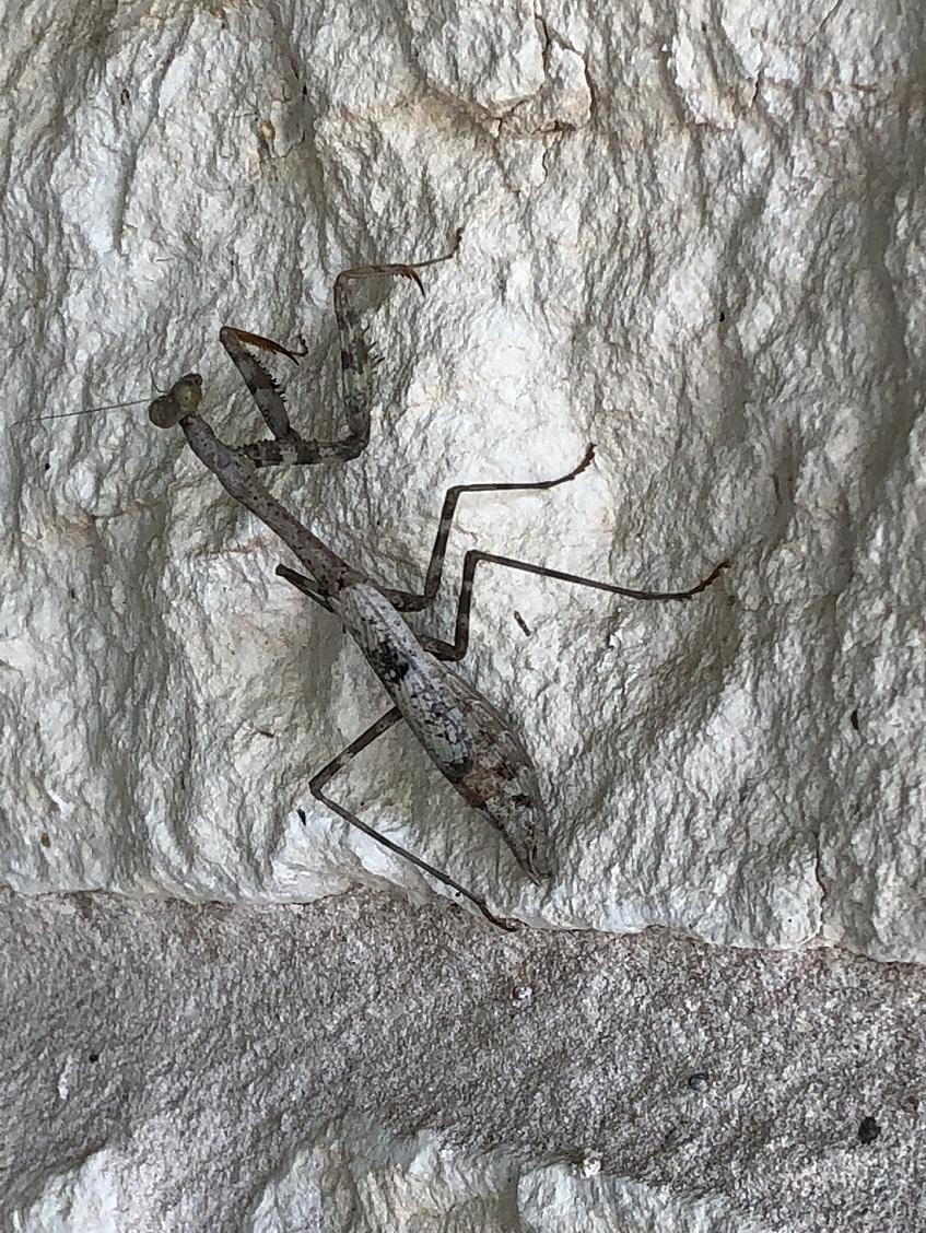 00s Preying Mantis (2)