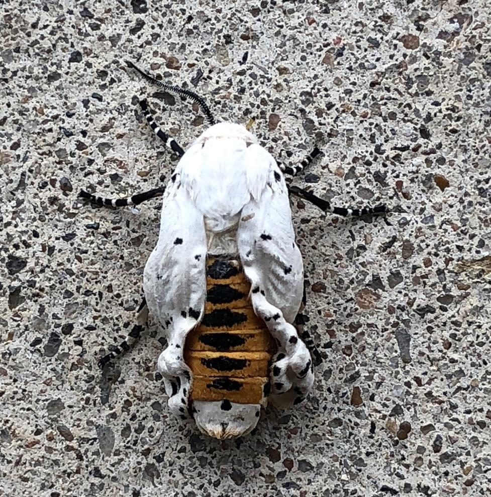 00s Salt Marsh Moth (3)