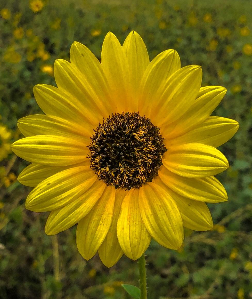 Sunflower in September
